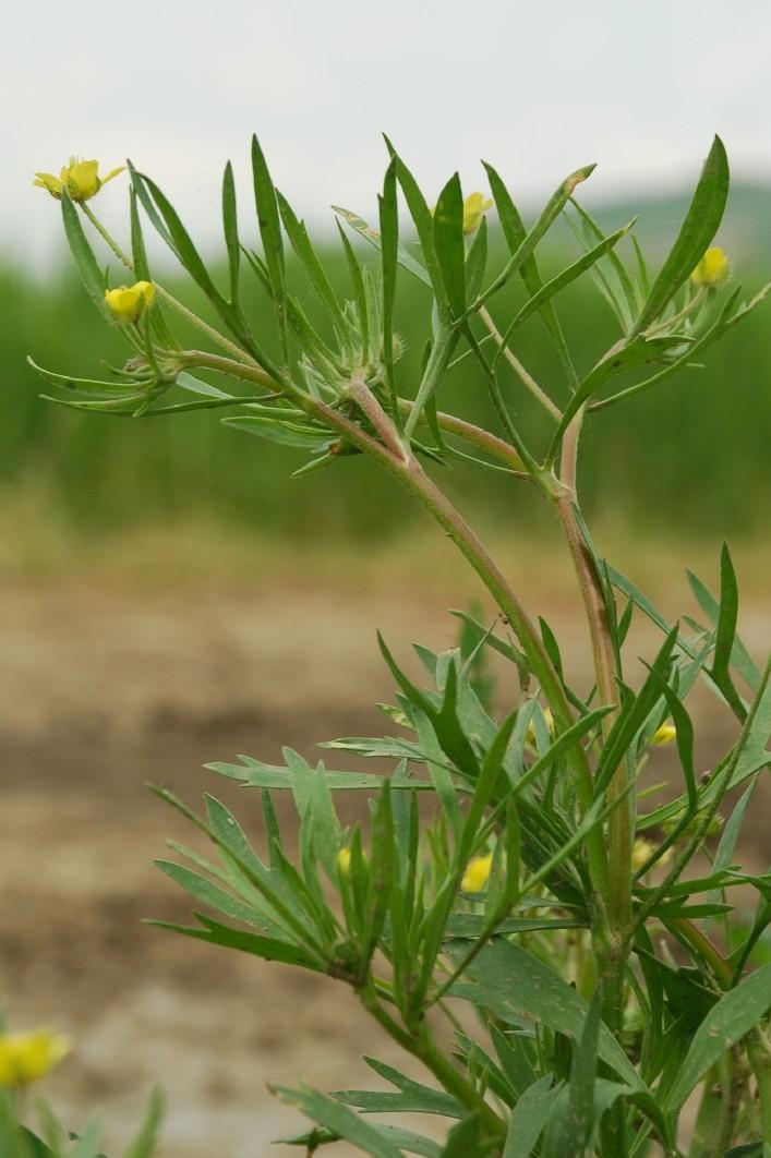 Ranunculus arvensis 7