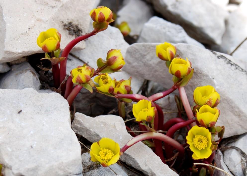 Ranunculus brevifolius