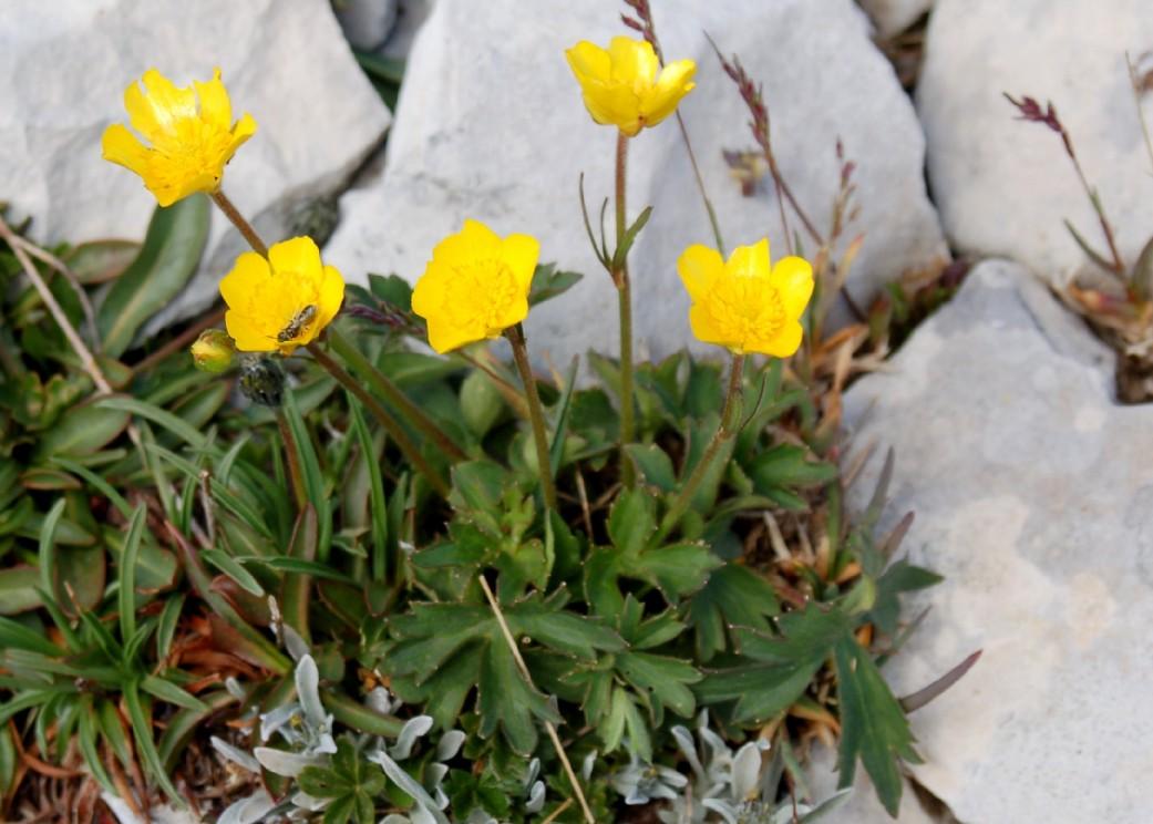 Ranunculus breyninus