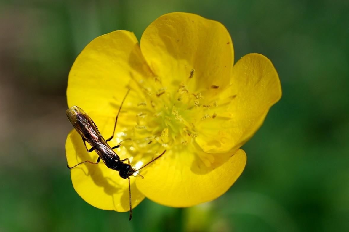 Ranunculus bulbosus subsp. aleae 10