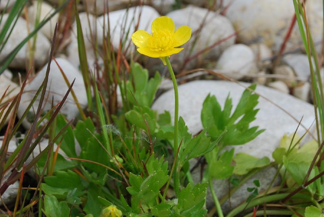 Ranunculus bulbosus subsp. aleae 2
