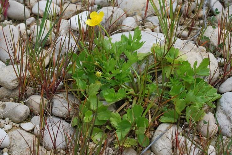 Ranunculus bulbosus subsp. aleae 4