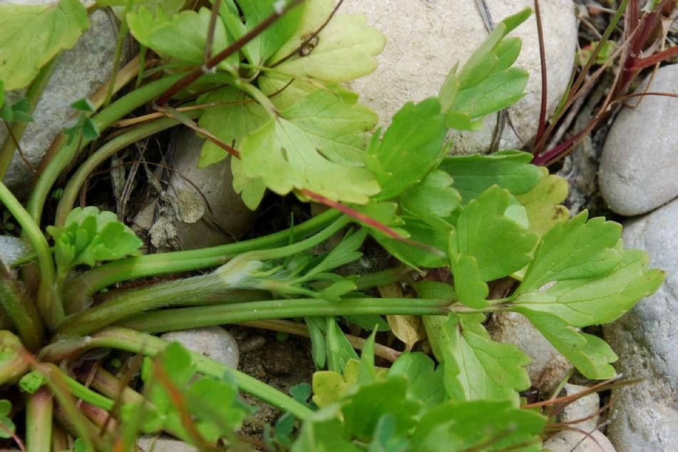 Ranunculus bulbosus subsp. aleae 7