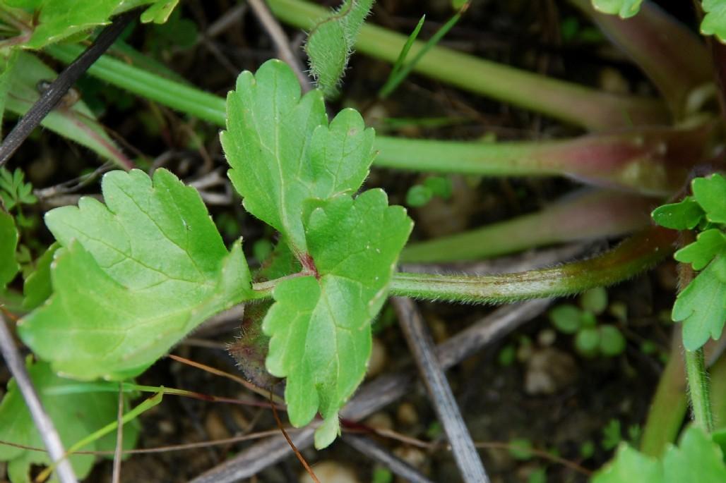 Ranunculus bulbosus subsp. aleae 8