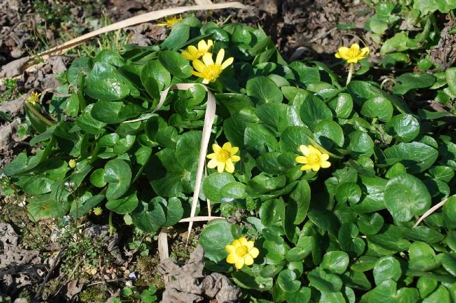 Ranunculus ficaria 14