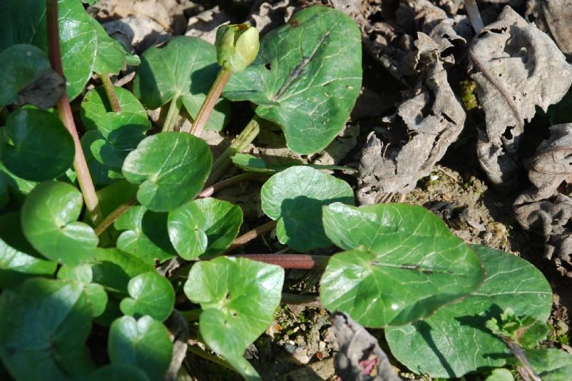 Ranunculus ficaria 15