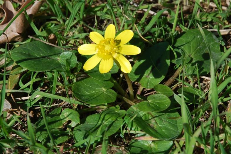 Ranunculus ficaria 16