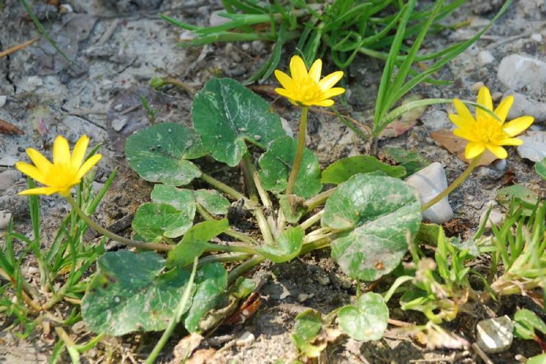 Ranunculus ficaria  8