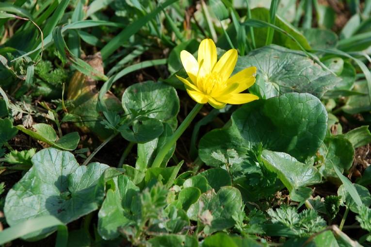 Ranunculus ficaria  2