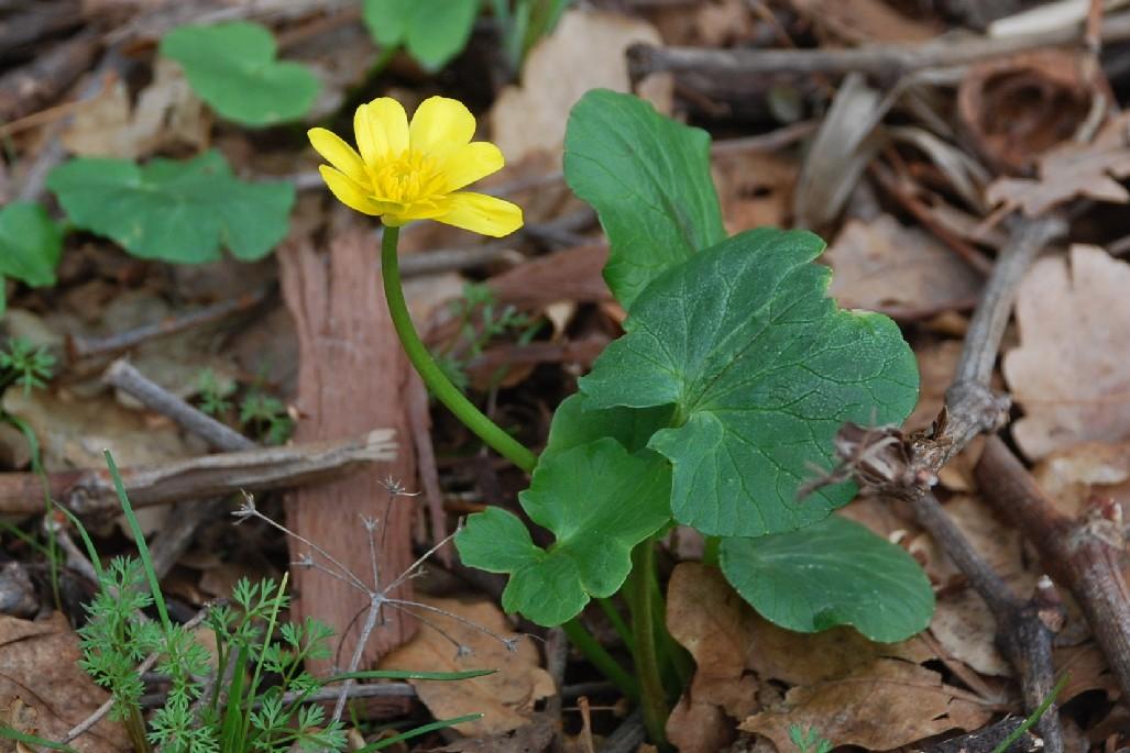 Ranunculus ficaria 20