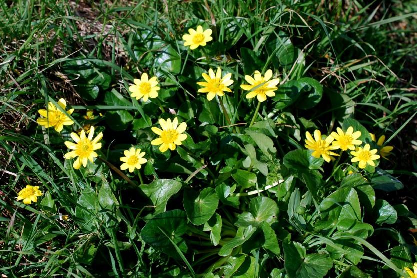Ranunculus ficaria 22