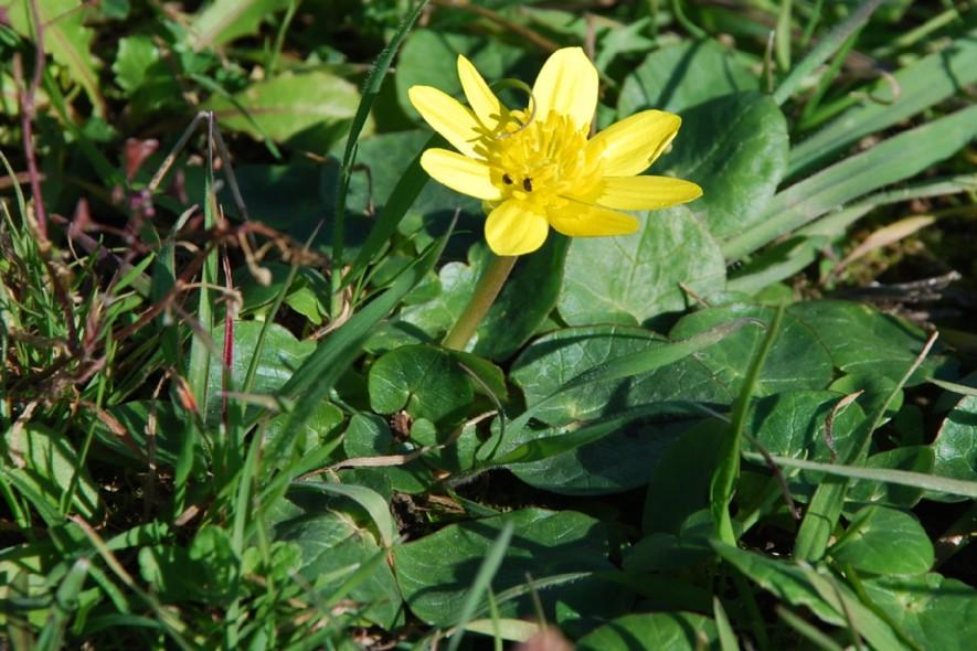 Ranunculus ficaria 5