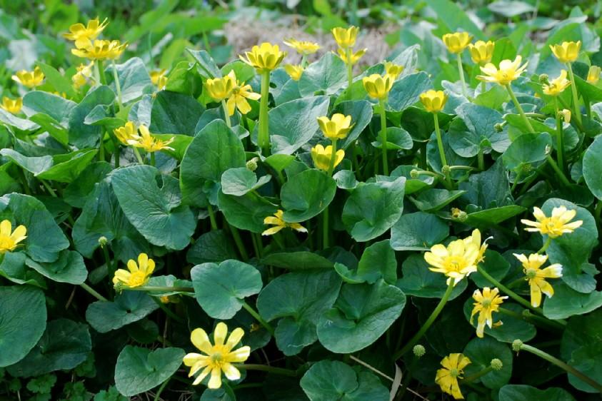 Ranunculus ficaria 7