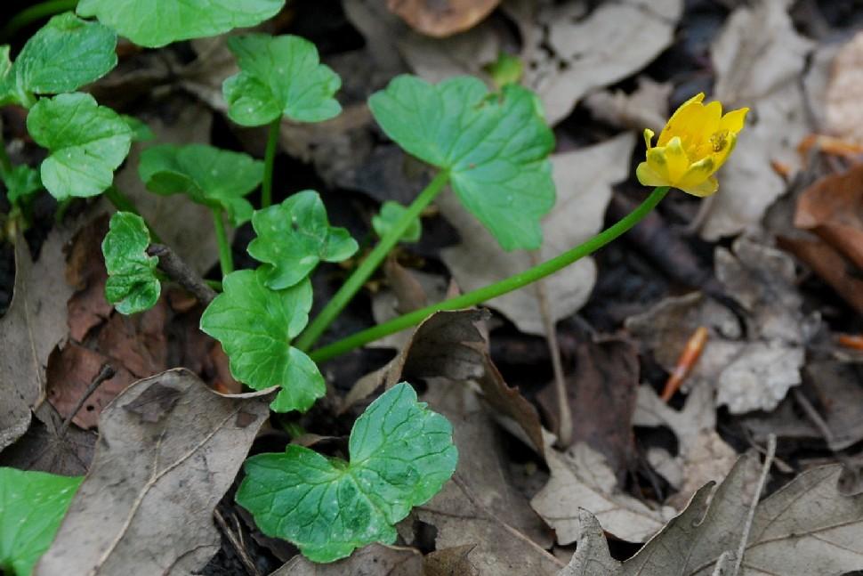 Ranunculus ficaria 9