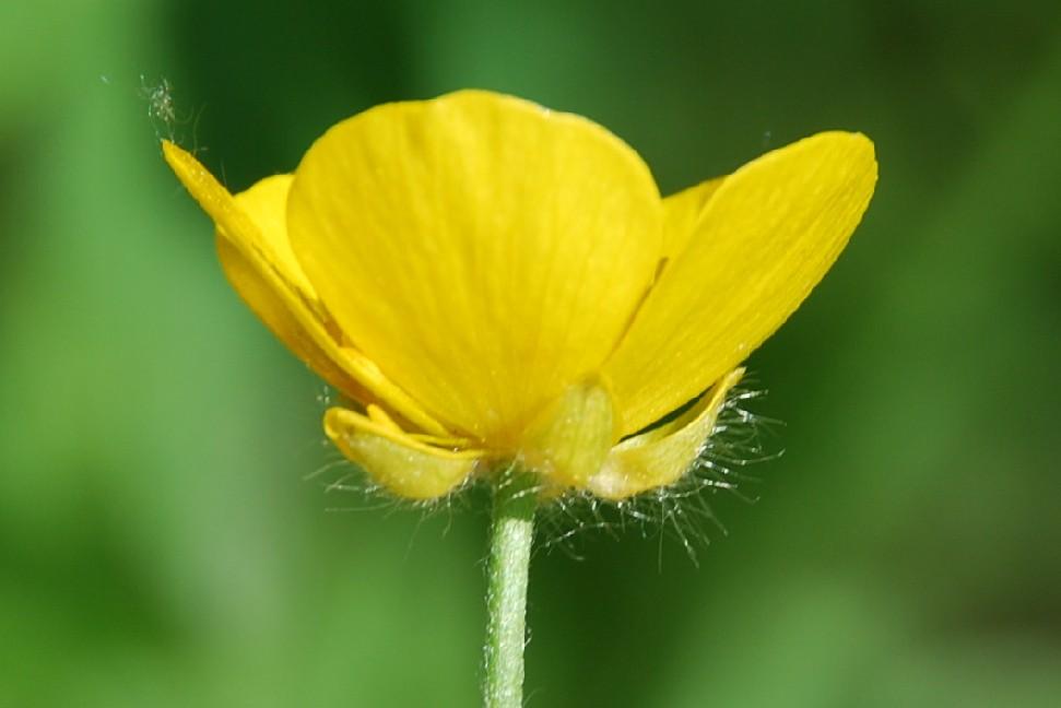 Ranunculus lanuginosus 10