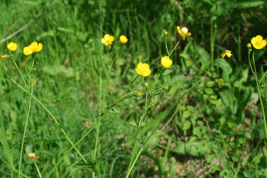 Ranunculus lanuginosus 11