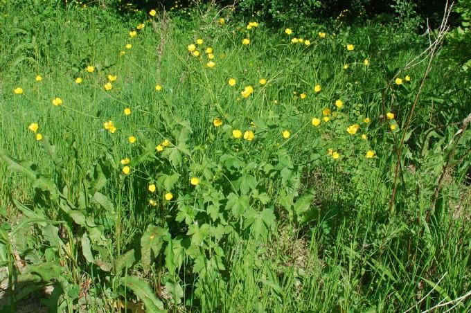 Ranunculus lanuginosus 12