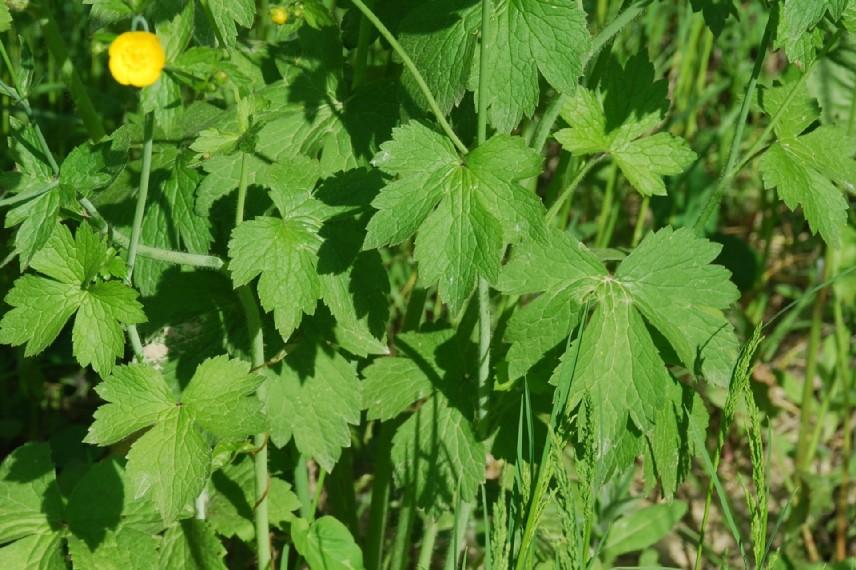 Ranunculus lanuginosus 13