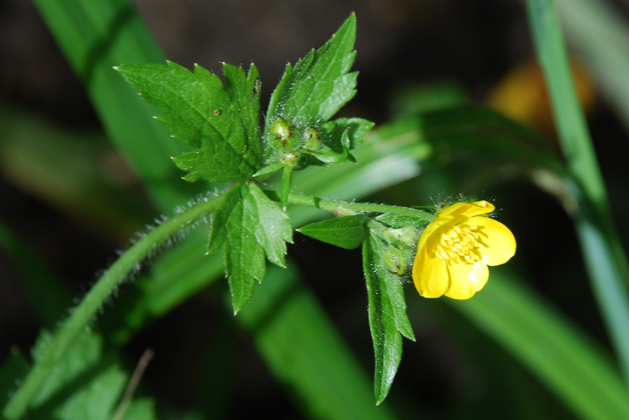 Ranunculus lanuginosus 18
