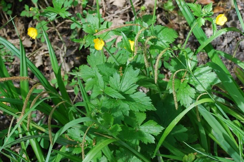 Ranunculus lanuginosus 19