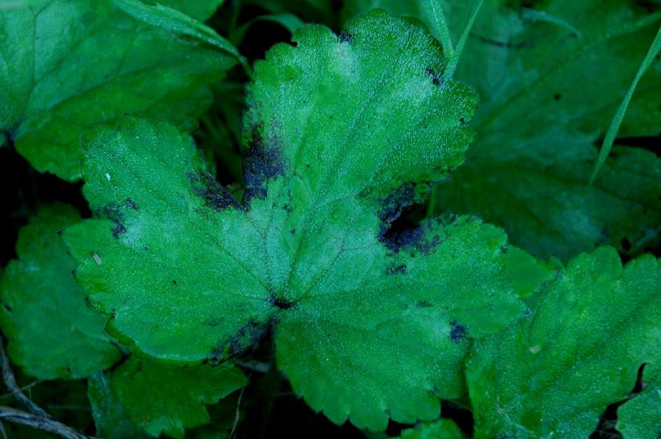 Ranunculus lanuginosus 2