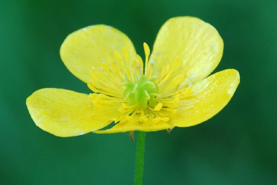 Ranunculus lanuginosus 4