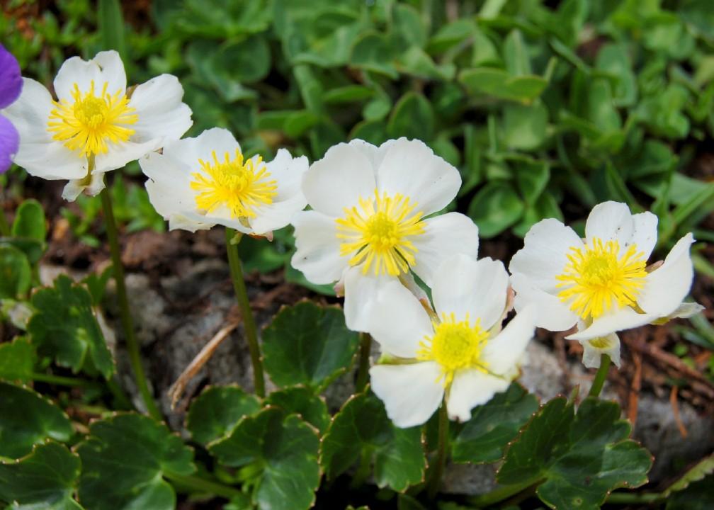Ranunculus magellensis