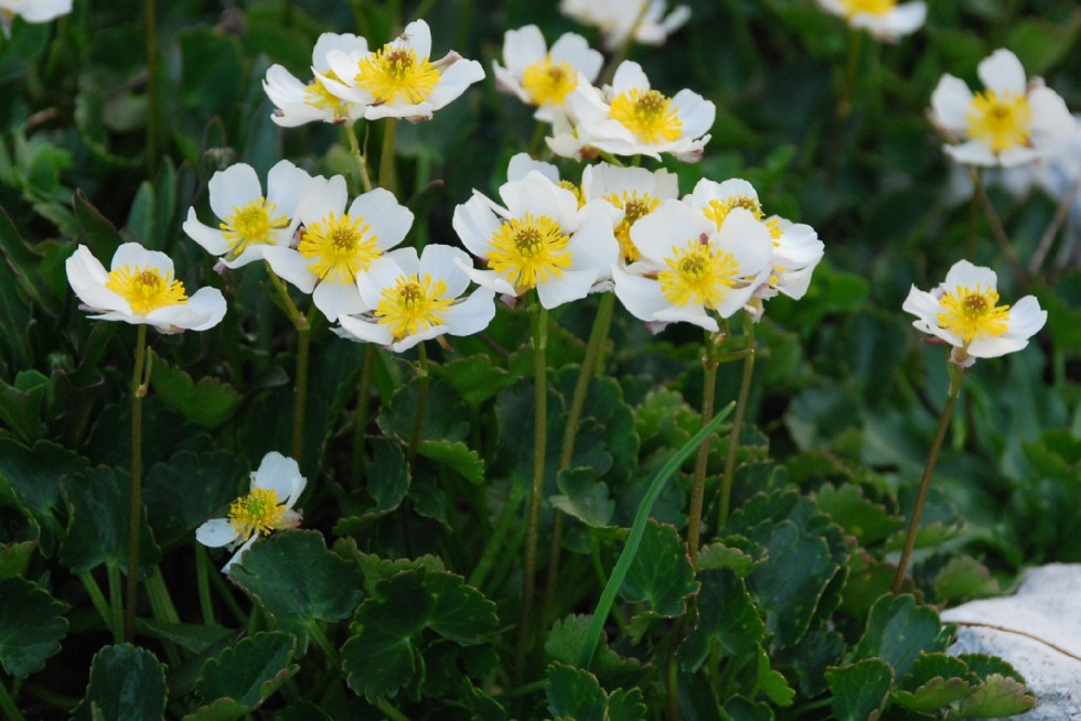 Ranunculus magellensis 2