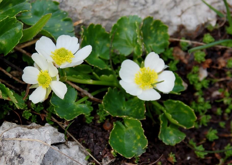 Ranunculus magellensis 3