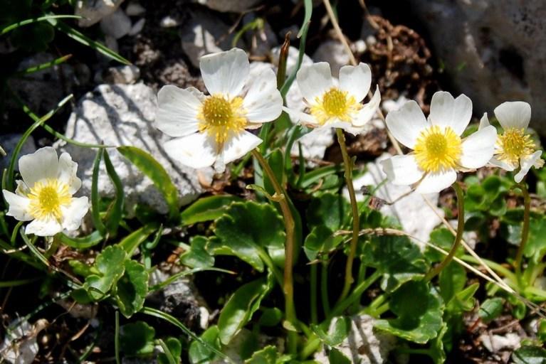 Ranunculus magellensis 4