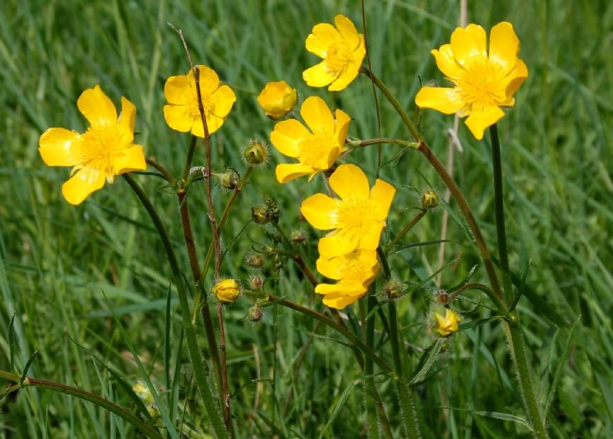 Ranunculus marsicus