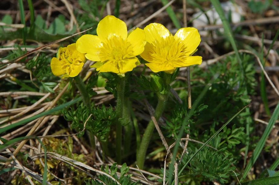 Ranunculus millefoliatus 13