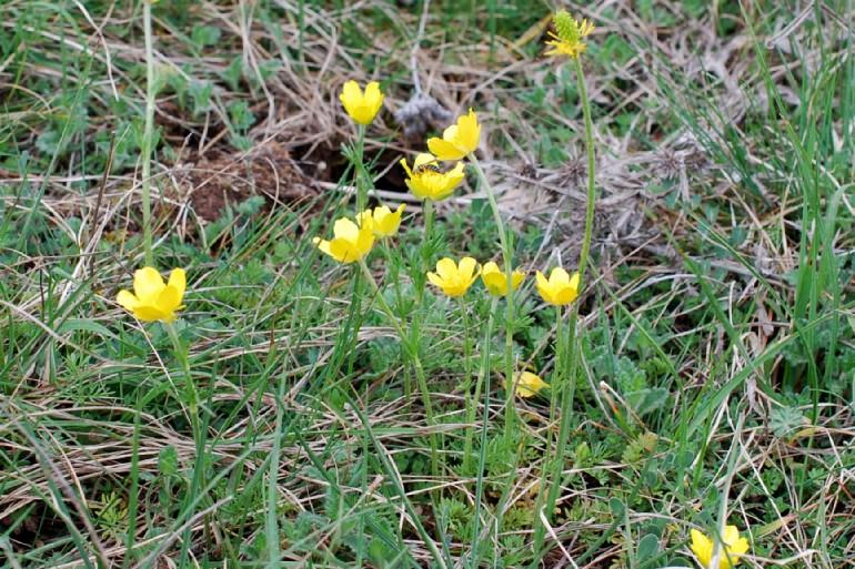 Ranunculus millefoliatus 16