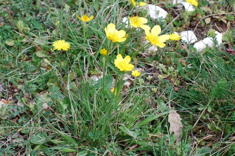 Ranunculus millefoliatus 17