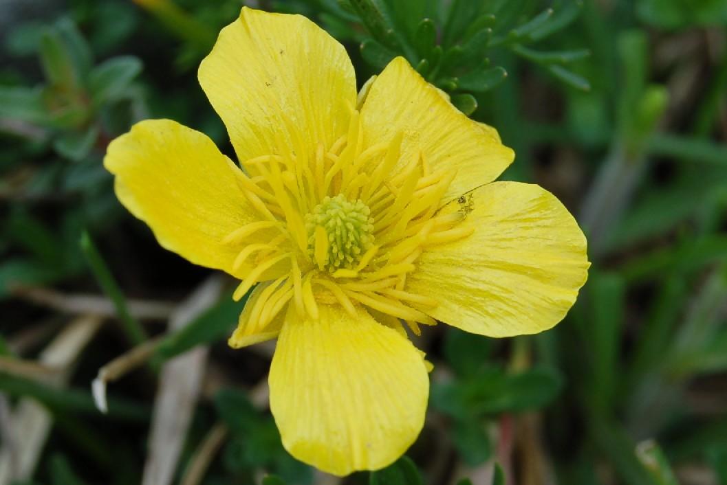 Ranunculus millefoliatus 4