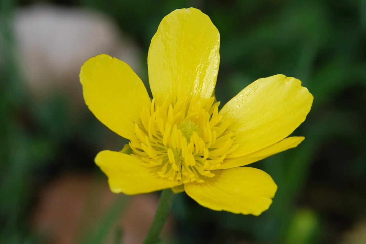 Ranunculus millefoliatus 6