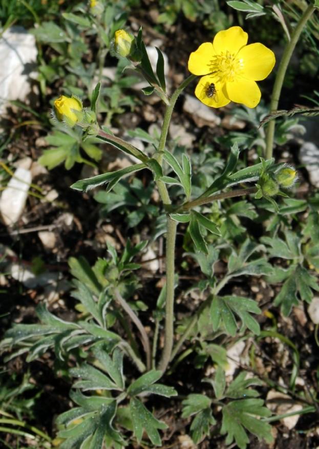 Ranunculus monspeliacus subsp. monspeliacus