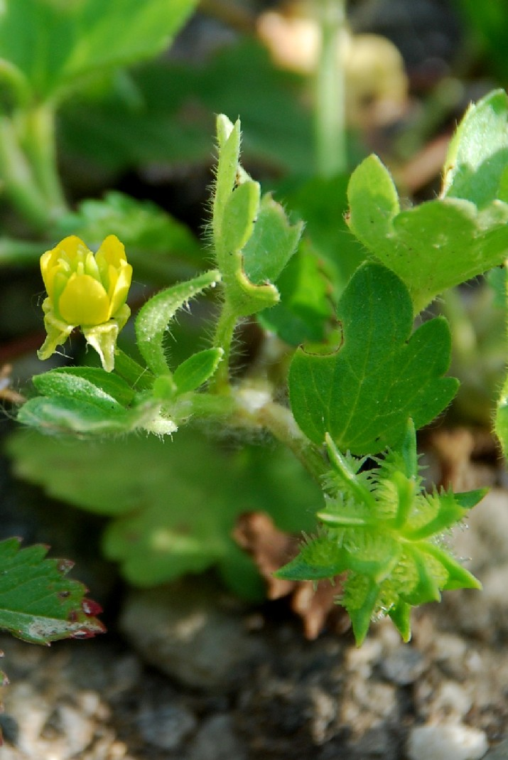 Ranunculus muricatus 2