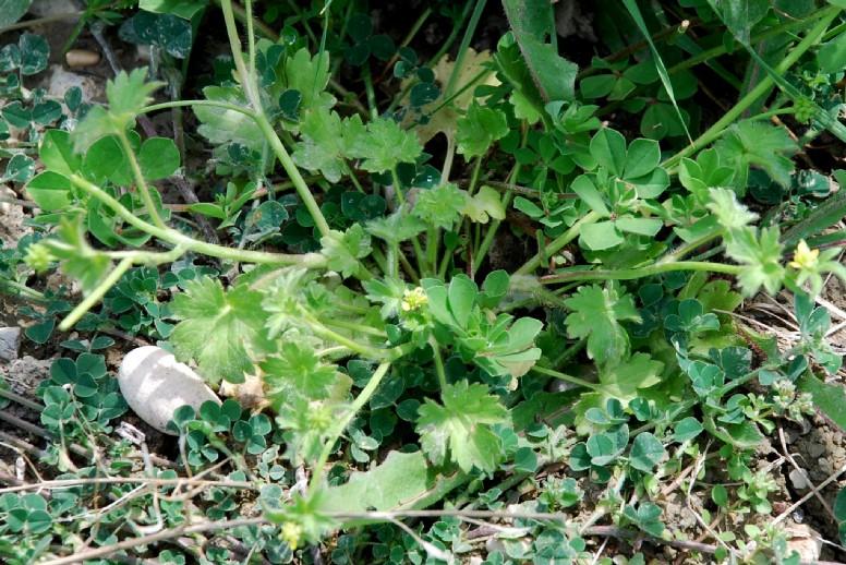 Ranunculus parviflorus 14