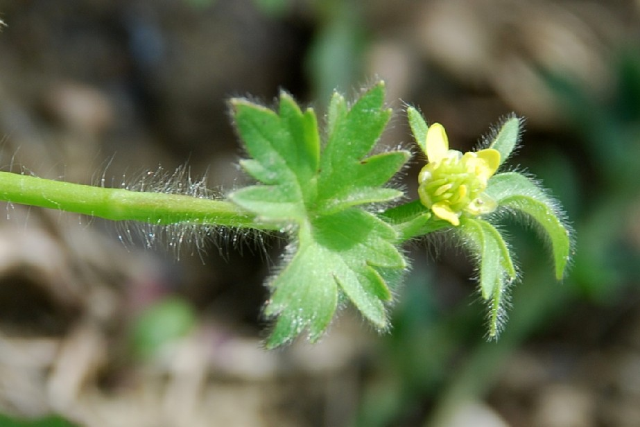 Ranunculus parviflorus 9