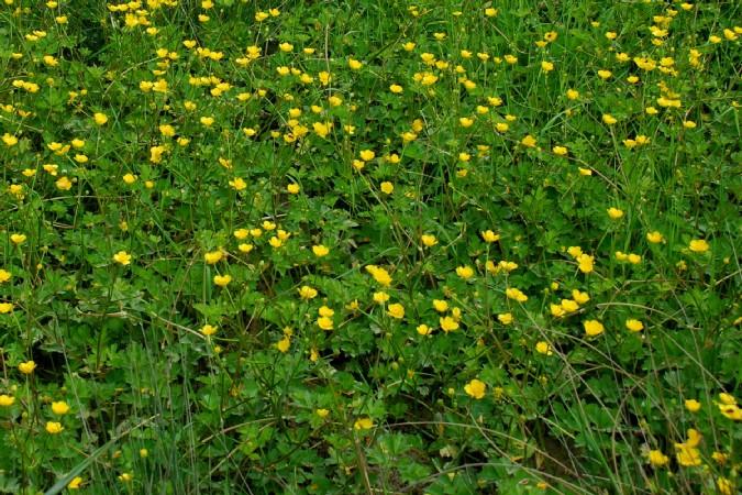 Ranunculus repens 15
