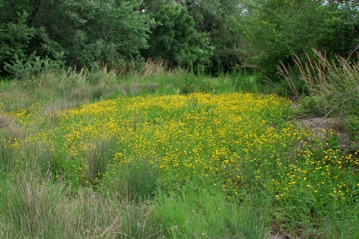 Ranunculus repens 16