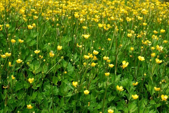 Ranunculus repens 9