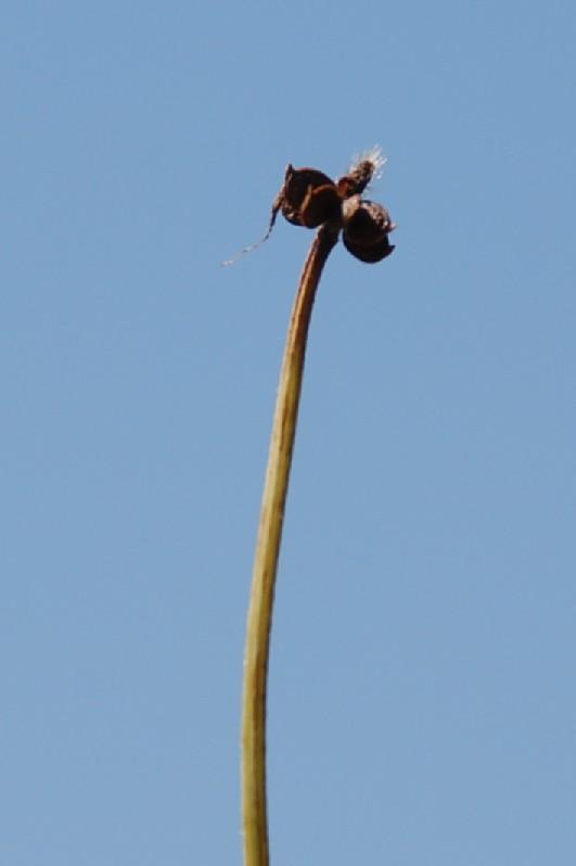 Ranunculus sardous 10