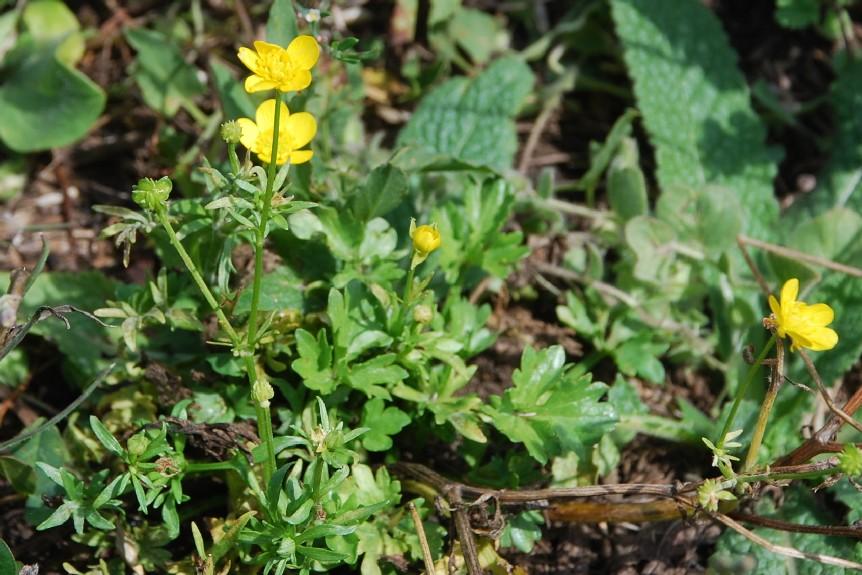 Ranunculus sardous 13