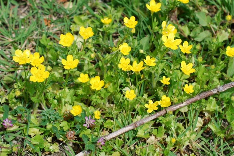 Ranunculus sardous 18
