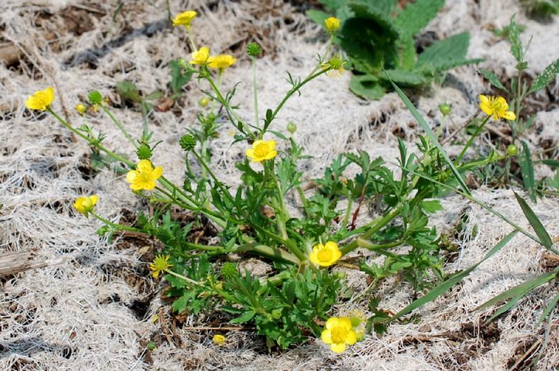 Ranunculus sardous 19