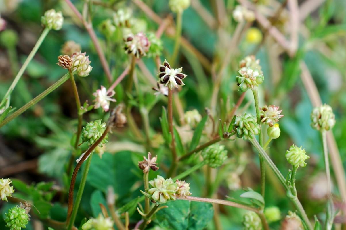 Ranunculus sardous 20