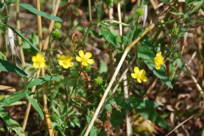 Ranunculus sardous 5