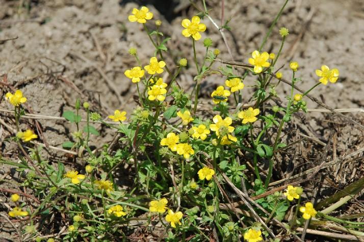 Ranunculus sardous 6